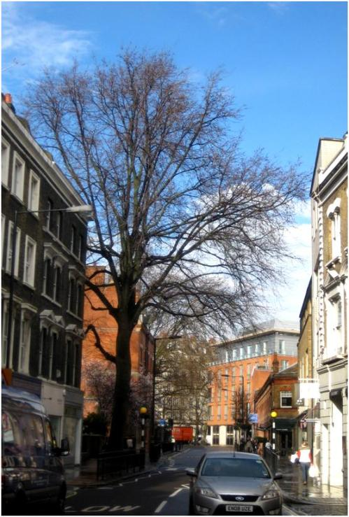 Marylebone Elm with one of the churchyard plane trees in background