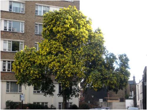 Wattle Tree in Park Crescent Mews West, Marylebone