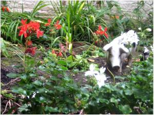 Pig amongst the Pelargoniums (Marylebone Library staff garden)