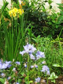 Bluebells and narcissi in Marylebone Library staff garden
