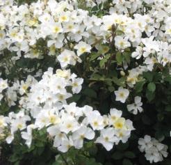 'Kew Gardens' rose