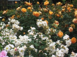 Rose beds