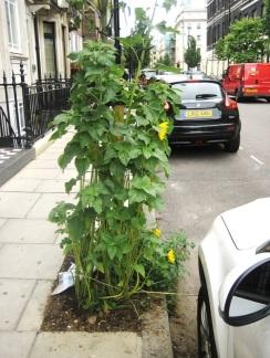 'Guerilla gardening' in Marylebone