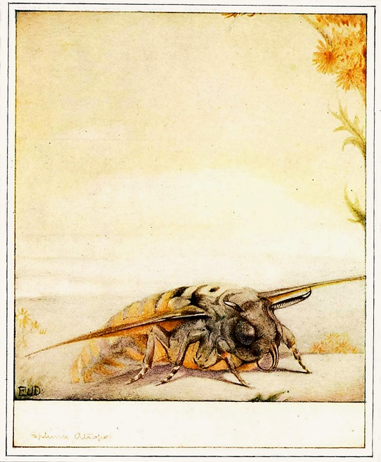 The Life of The Bee by Maurice Maeterlinck, 1911. 'Sphinx Atropos', p188