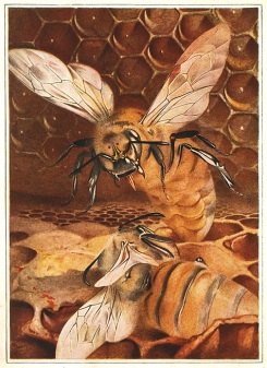 The Life of The Bee by Maurice Maeterlinck, 1911. 'The Duel of the Queens', p126