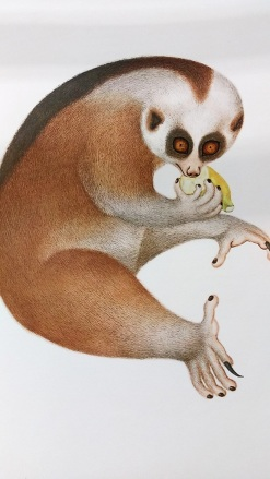 Chinese Natural History Drawings selected from the Reeves Collection, 1974 - Slow Loris