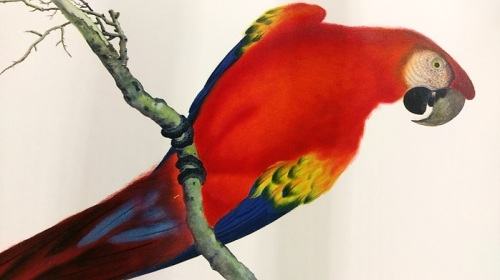Chinese Natural History Drawings selected from the Reeves Collection, 1974 - Scarlet Macaw