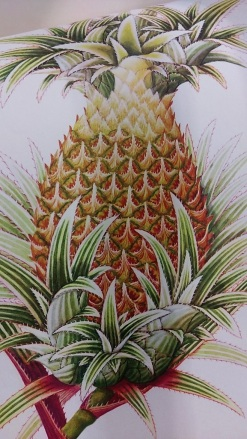 Chinese Natural History Drawings selected from the Reeves Collection, 1974 - Pineapple